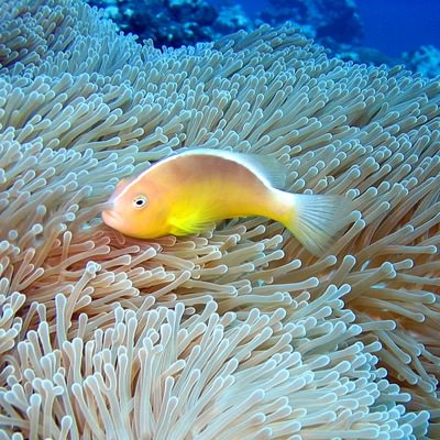 clownfish resting among coral