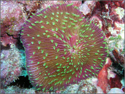 fungia growing on reefs