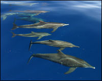 A small pod of rough toothed dolphins seen near Tutuila.
