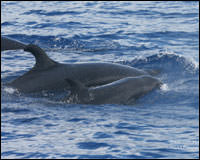 False killer whale adult and calf.