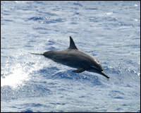 A spinner dolphin leaps in the surf.